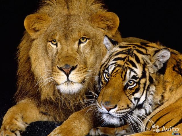 """Продам Нарды большие """"Лев и тигр"""""""