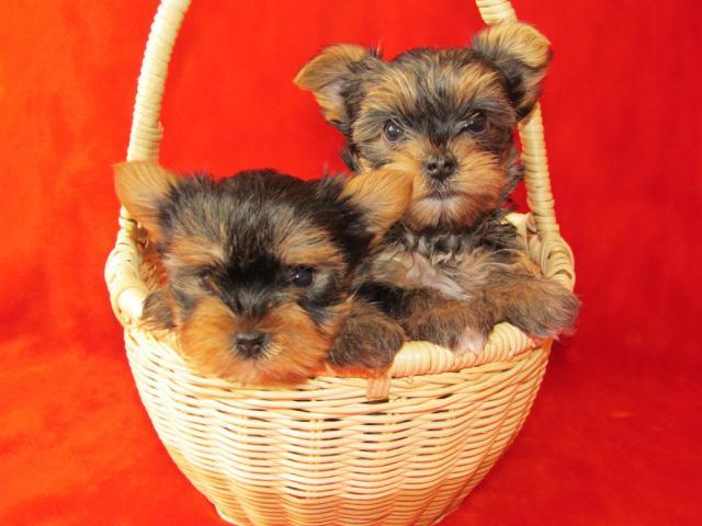 Продам красивые щенки йорка от интерчемпиона