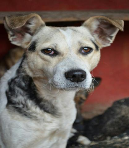Продам Собака Пятнашка-молодая, охранница