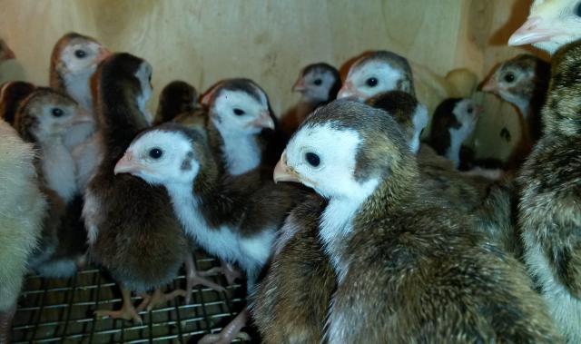 Продам Цыплята загорки и синьки
