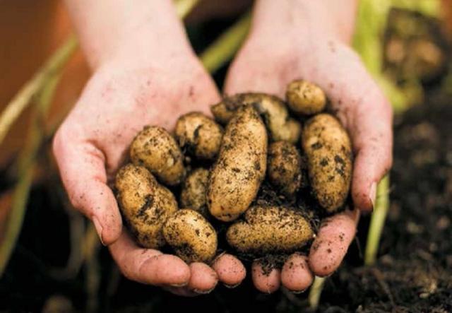 Продам Картофель мини, оптом. Низкие цены