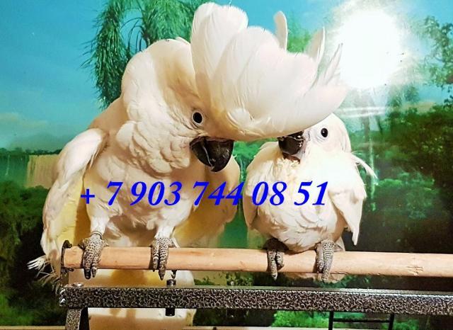 Продам Белохохлый какаду (сacatua alba) птенцы