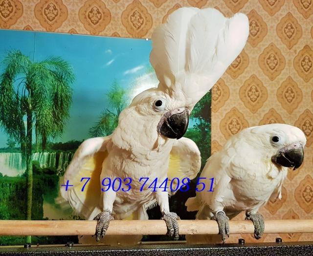 Продам Белохохлый какаду (Cacatua alba) птенцы