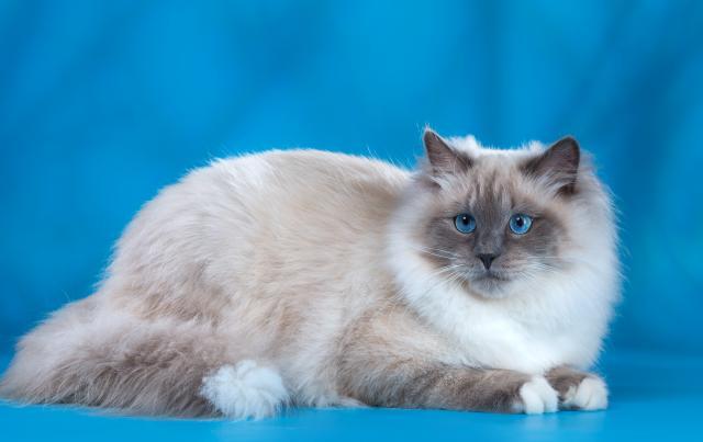 Предложение: Сибирский кот для вязки