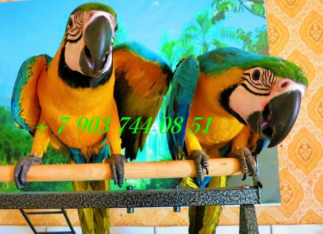 Продам Сине желтый ара - птенцы из питом.Европы