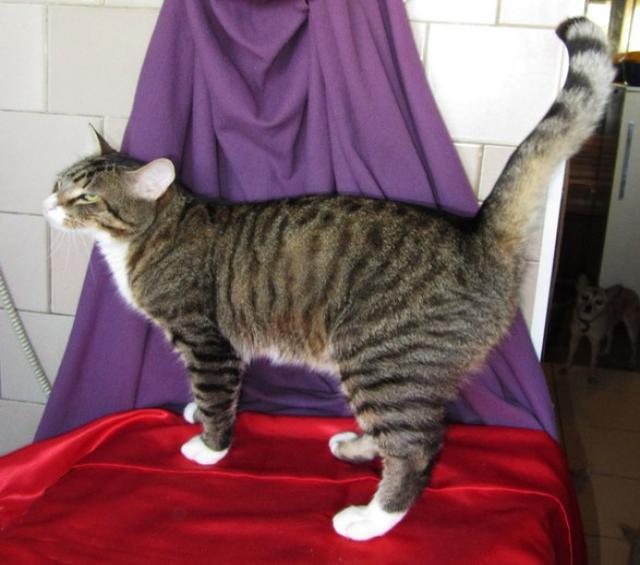 Отдам даром Серый полосатый котик - Василий в дар.