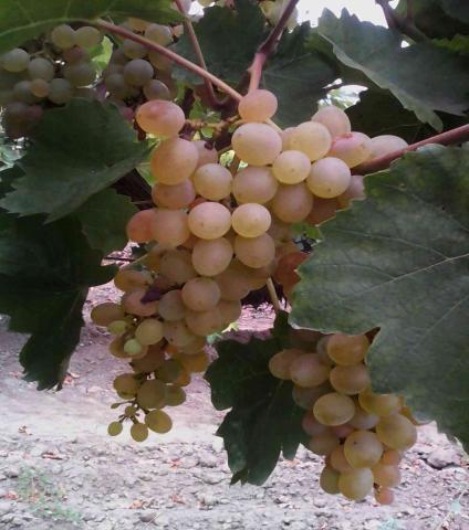 Продам Домашнее вино - обмен на продукты