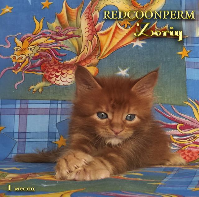 Продам Котёнок мейн кун красный солид.Шоу класс