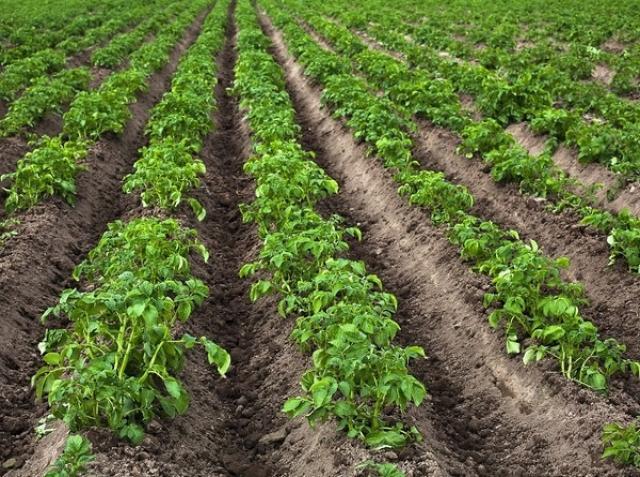 Сдам: 70 сот.земли для выращивания корнеплодов
