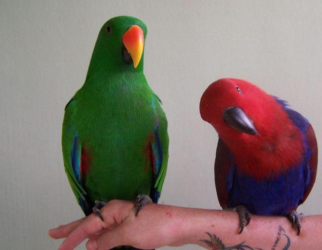 Продам Благородный попугай - ручные птенцы