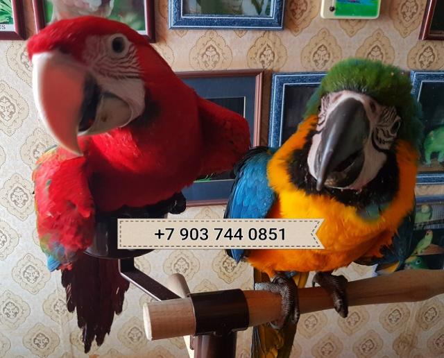 Продам Попугаи ара  ручные птенцы из питомников