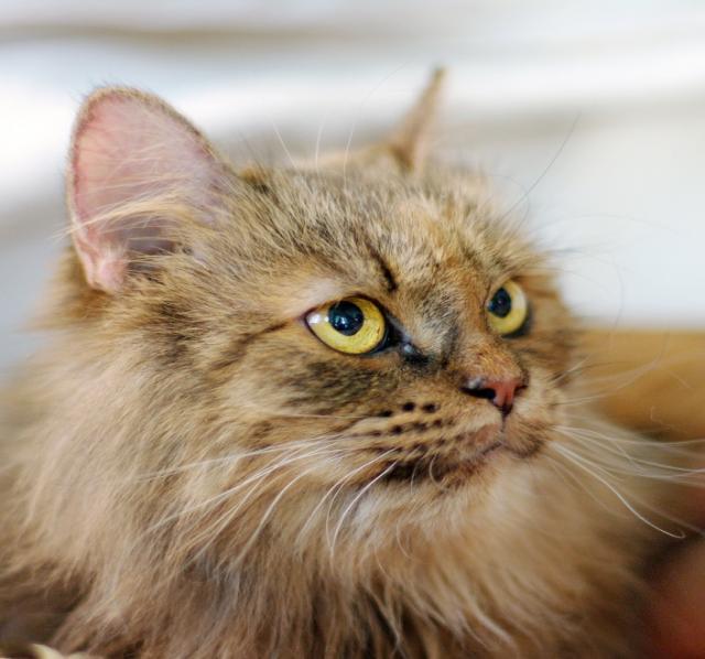 Отдам даром Роскошное пушистое счастье – кошка Амели