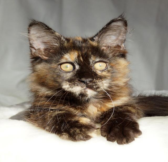 Продам котята мейн куны
