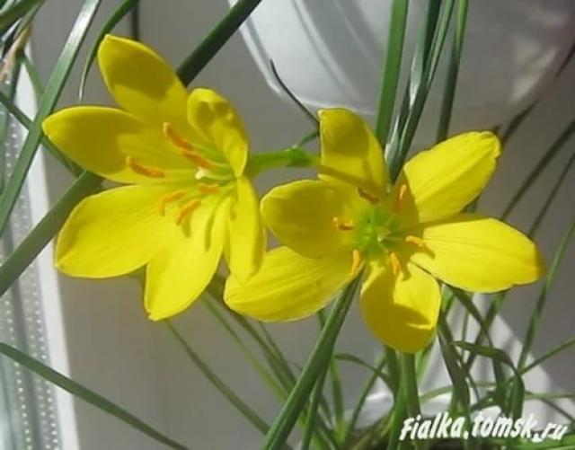 Куплю Зефирантес желтый