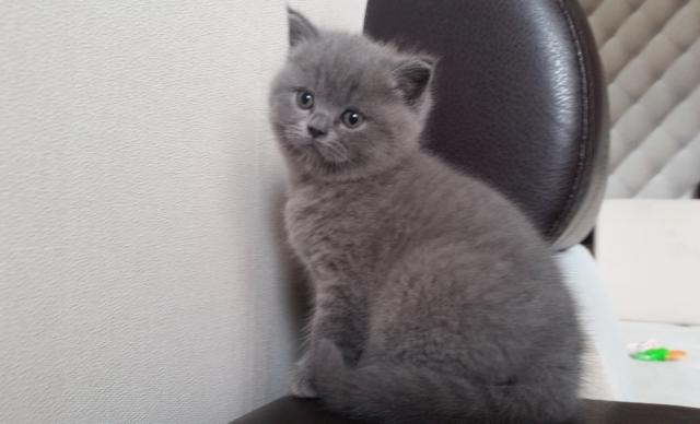 Продам Британские голубые котята 2 месяца
