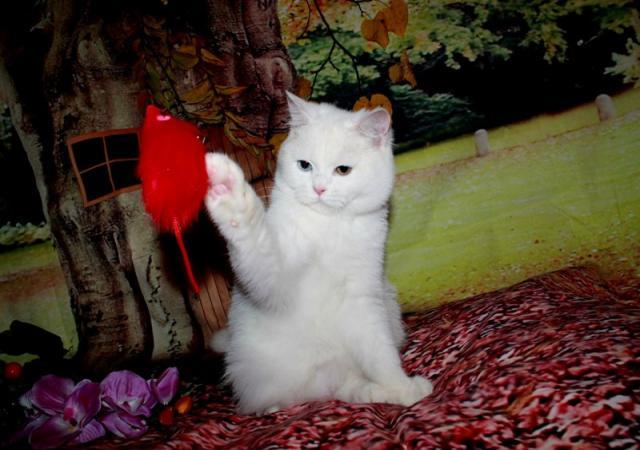 Продам Шотландские кошки
