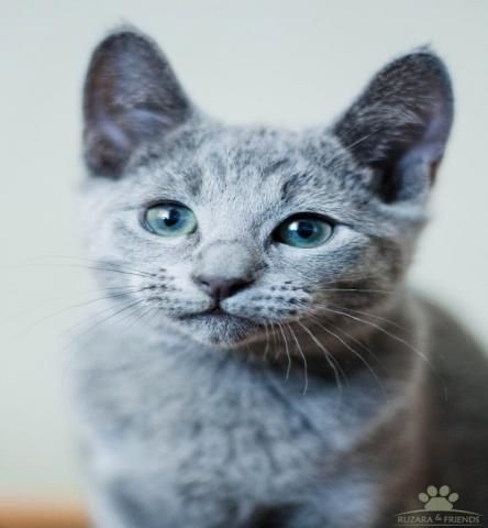 Продам  Русские Голубые котята