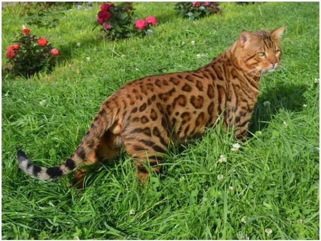 Продам Превосходные бенгальские котята.
