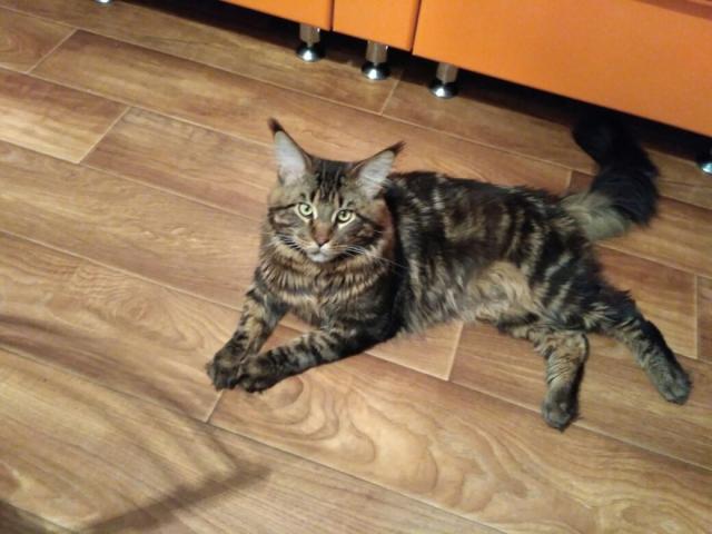 Предложение: Котик мейн кун срочно ищет кошечку