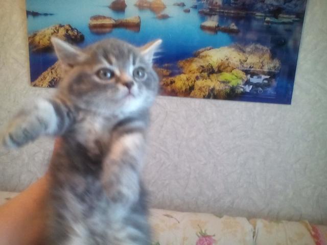 Продам котята вислоушки и прямоушки