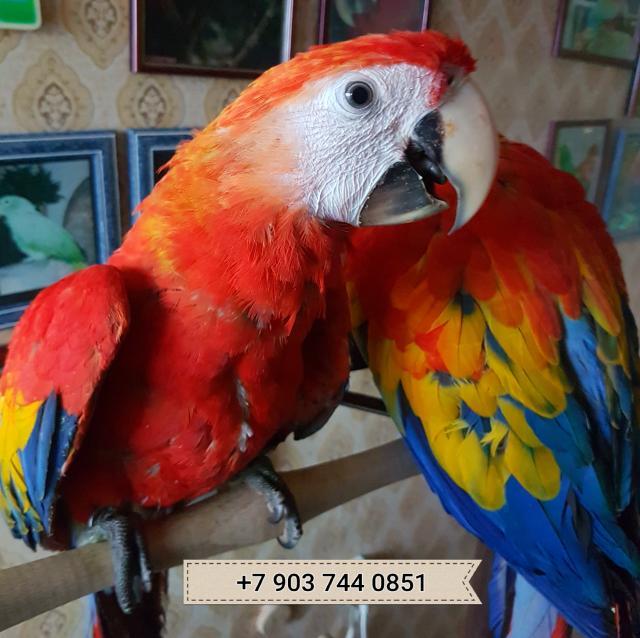 Продам Ara arakanga  ручные птенцы из питомника