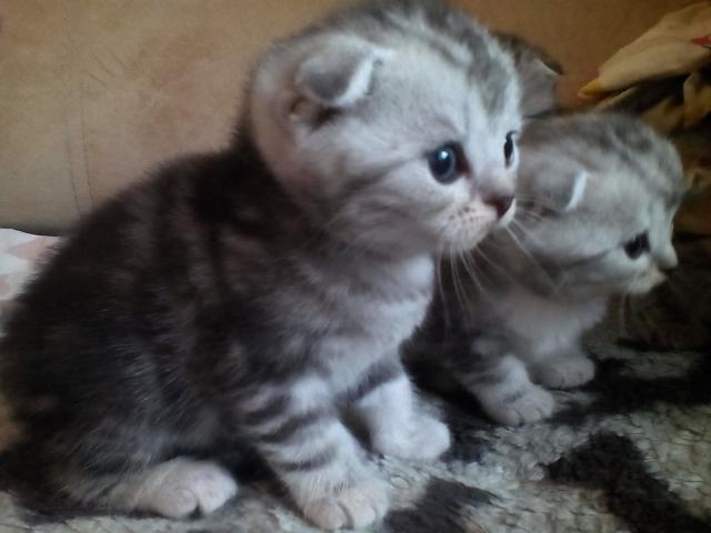 Продам Красивые шотландские котята