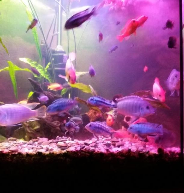 Продам: Аквариумные рыбки. Цыхлиды оз. Малави