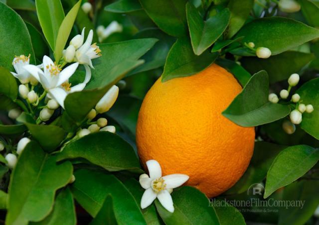 Продам Лимоны плодоносящие