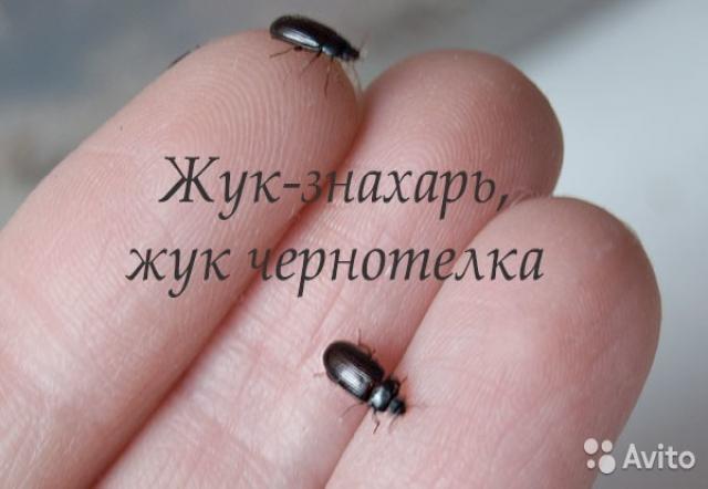 Продам Жук-знахарь (чернотелка) отправка по РФ