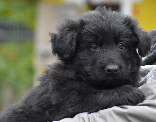 Продам: Щенки немецкой овчарки черной длинношерс