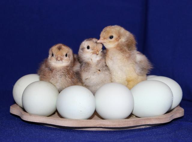 Продам Цыплята билефельдера