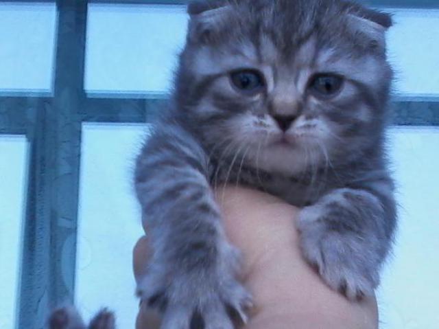 Продам котята шотландские