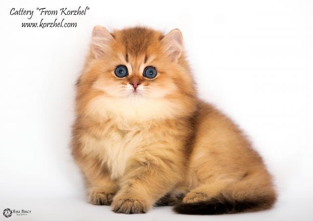 Продам котята британские шиншиллы