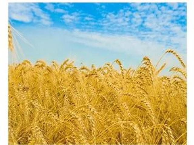 Продам пшеница 4 класс