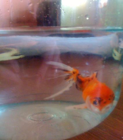 Продам Золотая рыбка и сомы