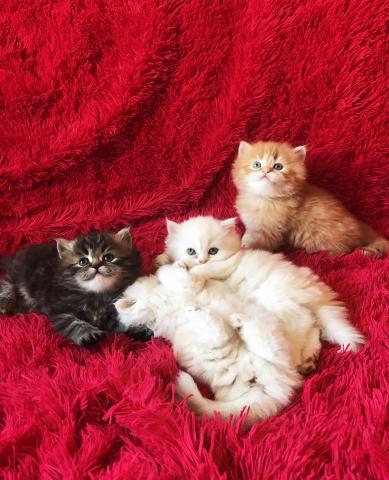 Продам Персидские котята (классик)