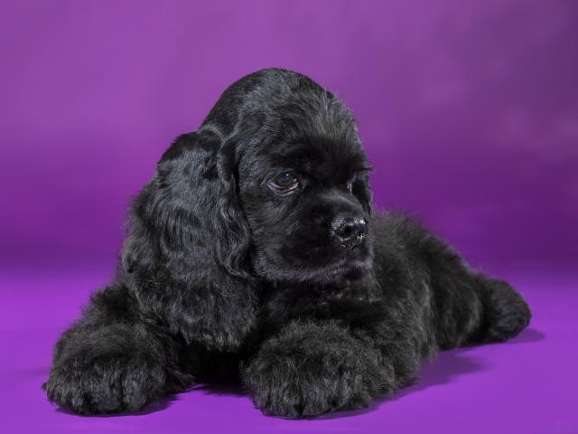 Продам Американский кокер спаниель щенок