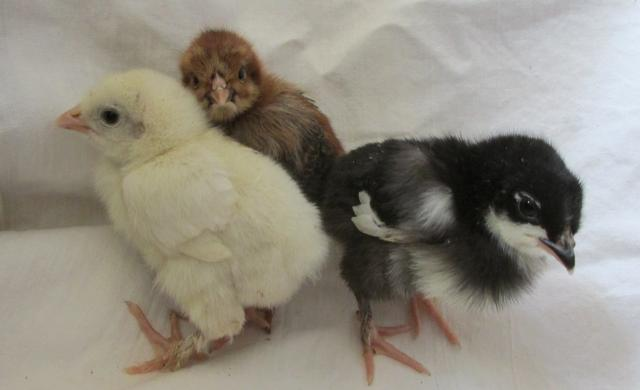 Продам Цыплята