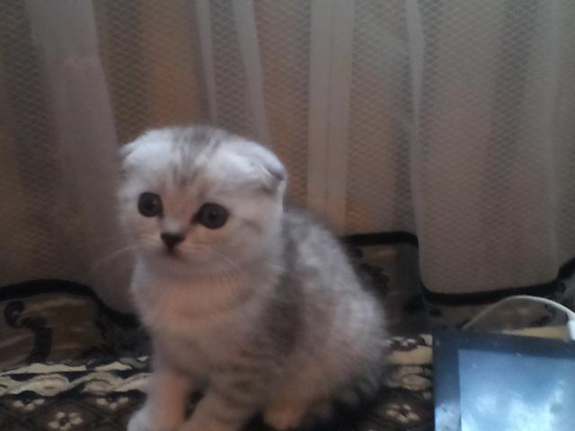 Продам Милые шотландские котята