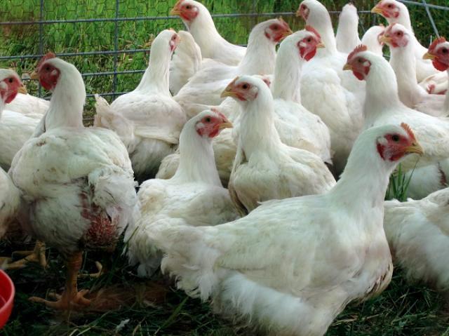 Продам цыплят бройлеров породы КОББ-500 (Чехия)