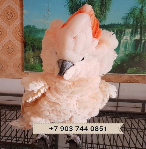 Продам Молуккский какаду - птенцы из  питом
