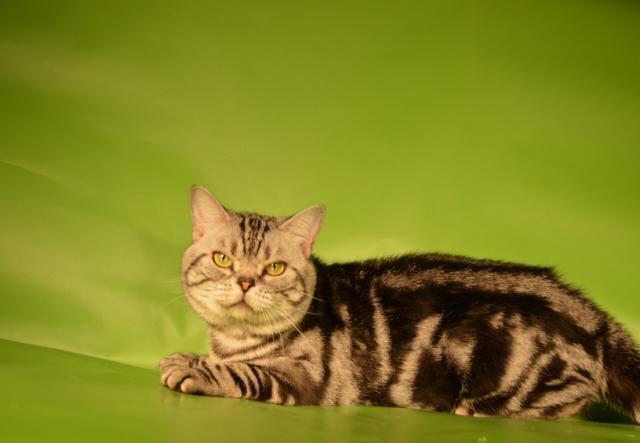 Продам: Мраморный кот на вязку
