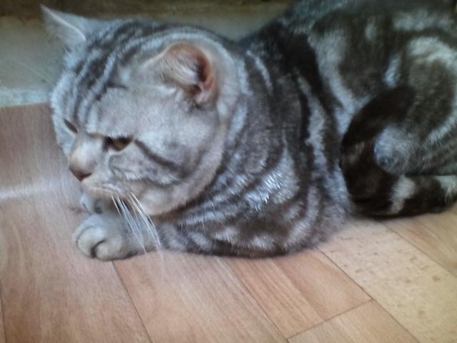 Продам: Кот на вязку