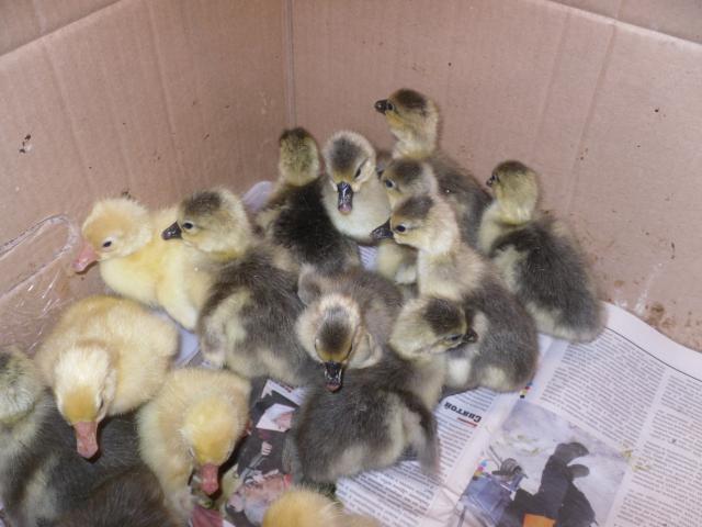 Продам Домашние гусята