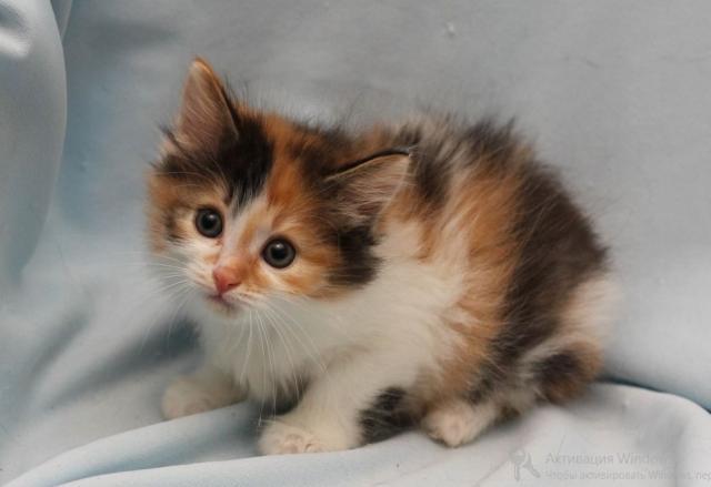 Продам Трехцветные котята