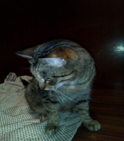 Отдам даром Серенькая молодая кошечка Машенька в дар