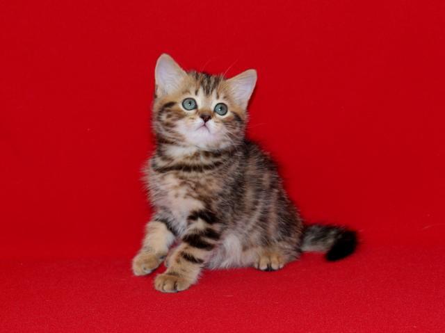 Продам Шотландские мраморные котята