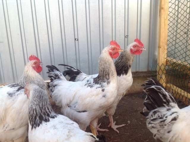 Продам Суточных цыплят