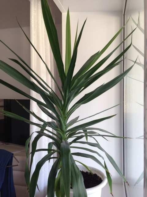 Продам Декоративное комнатное растение - Юкка