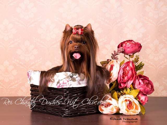 Предложение: Мини кобель шоколадного йорка